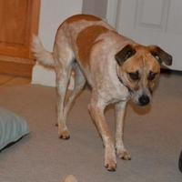 Adopt A Pet :: OLLIE - troutman, NC