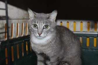 Domestic Shorthair/Domestic Shorthair Mix Cat for adoption in Russellville, Kentucky - Poppers