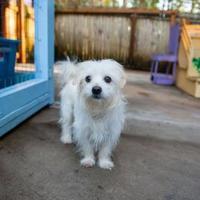 Adopt A Pet :: Gravy - Eugene, OR