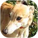 Greyhound Dog for adoption in Dallas, Texas - Gikka