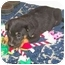 Photo 3 - Labrador Retriever/Shepherd (Unknown Type) Mix Puppy for adoption in Franklin, Virginia - Daisy