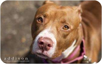 American Pit Bull Terrier Mix Dog for adoption in Reisterstown, Maryland - Addison
