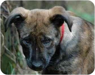 German Shepherd Dog Mix Puppy for adoption in Portland, Oregon - Gidget