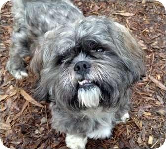 Shih Tzu/Shih Tzu Mix Dog for adoption in Mocksville, North Carolina - Quon