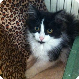 Domestic Mediumhair Kitten for adoption in Toronto, Ontario - Lily