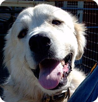 Great Pyrenees Dog for adoption in Bloomington, Illinois - Barney PENDING ADOPTION