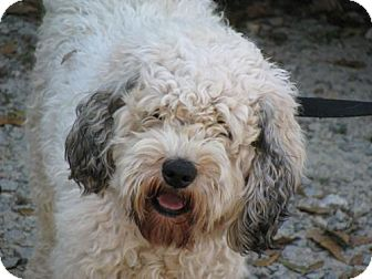 Cockapoo/Poodle (Miniature) Mix Dog for adoption in New Jersey, New Jersey - NJ - Wiggles