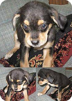 Australian Shepherd/Hound (Unknown Type) Mix Puppy for adoption in Kimberton, Pennsylvania - Greta