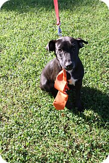 Labrador Retriever Mix Dog for adoption in Huntsville, Alabama - Maxwell