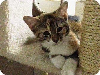 Domestic Shorthair Kitten for adoption in Trevose, Pennsylvania - Whitney