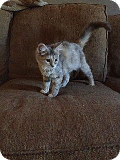 Calico Kitten for adoption in Spring City, Pennsylvania - Lilac