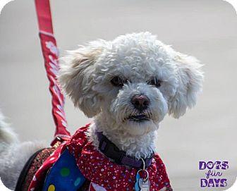 Poodle (Miniature) Mix Dog for adoption in San Diego, California - Thoreau
