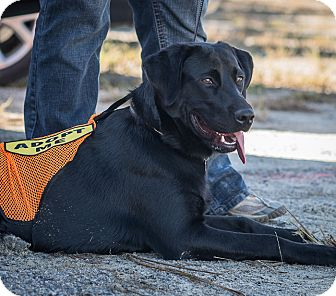 Labrador Retriever Dog for adoption in Cumming, Georgia - Ryder