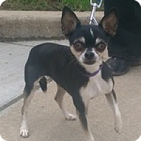 Adopt A Pet :: DeDe - Downers Grove, IL