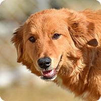 Adopt A Pet :: Nyla - New Canaan, CT