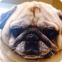 Adopt A Pet :: Charlie Bear - Huntingdon Valley, PA