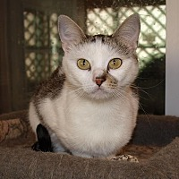 Domestic Shorthair Cat for adoption in Jackson, Mississippi - Abbie
