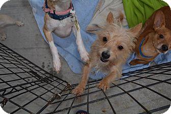 Cairn Terrier Mix Dog for adoption in Scottsdale, Arizona - Barbie
