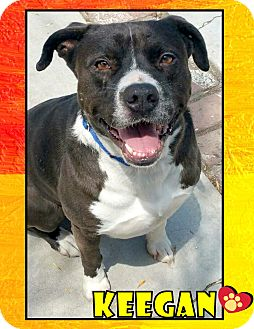 Labrador Retriever/American Pit Bull Terrier Mix Dog for adoption in Van Nuys, California - Keegan