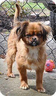 Pekingese Mix Dog for adoption in Hagerstown, Maryland - Leo