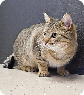 Domestic Shorthair Cat for adoption in St. Francisville, Louisiana - Hoppy