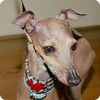 Adopt A Pet :: Bailey Boo in Montgomery - Argyle, TX