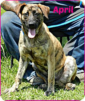 German Shepherd Dog/Mountain Cur Mix Dog for adoption in Lawrenceburg, Tennessee - April