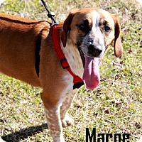 Labrador Retriever/Basset Hound Mix Dog for adoption in Arkadelphia, Arkansas - Marge