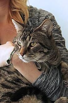 Domestic Mediumhair/Domestic Shorthair Mix Cat for adoption in Santa Paula, California - Sammy