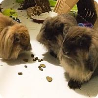 Adopt A Pet :: Ainsley , Arwen and Donovan - Waynesboro, VA