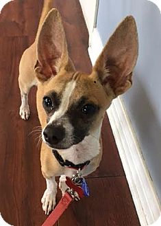 Chihuahua Puppy for adoption in Redondo Beach, California - Riley