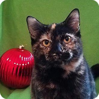 Domestic Shorthair Kitten for adoption in Colfax, Iowa - Tori