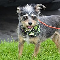 Poodle (Miniature)/Yorkie, Yorkshire Terrier Mix Dog for adoption in Costa Mesa, California - spunky