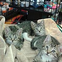 Domestic Shorthair Kitten for adoption in Harrisburg, Pennsylvania - Kellie (baby girl)