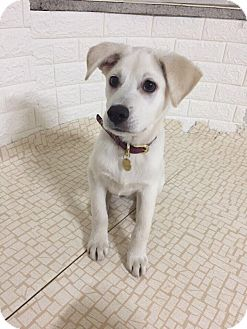 Labrador Retriever/Jindo Mix Puppy for adoption in Fairfax, Virginia - Mochi