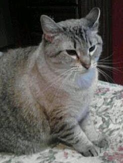 Oriental Cat for adoption in Asheville, North Carolina - Shadow (Courtesy)