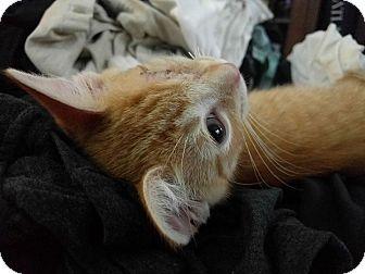 Domestic Shorthair Kitten for adoption in Queens, New York - Spike