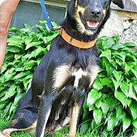 Shepherd (Unknown Type) Mix Dog for adoption in Danbury, Connecticut - Mya