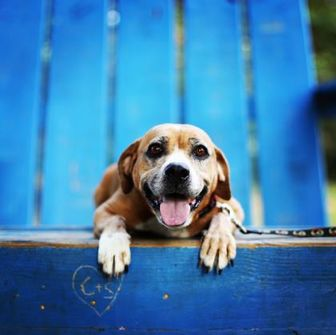 Beagle Mix Dog for adoption in Wichita, Kansas - Carrie