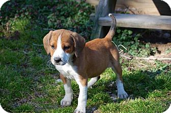 Hound (Unknown Type) Mix Puppy for adoption in Ashland, Virginia - Hope-ADOPTED!!!