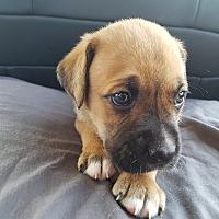 Adopt A Pet :: MITTEN - Oakbank, MB