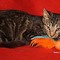 Adopt A Pet :: Boris (Neutered) - New Photos - Marietta, OH