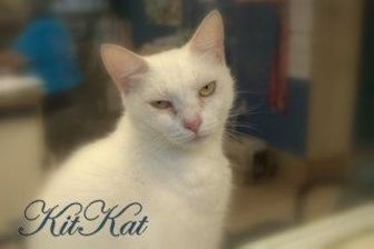 Domestic Shorthair/Domestic Shorthair Mix Cat for adoption in Middleburg, Florida - Kit Kat