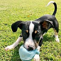 Adopt A Pet :: Benny (NC) - Raleigh, NC