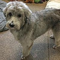 Adopt A Pet :: 'MEGA' - Agoura Hills, CA
