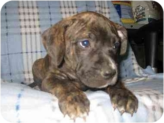 Pit Bull Terrier Mix Puppy for adoption in Greendale, Wisconsin - Duke