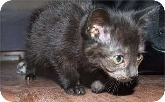 Domestic Shorthair Kitten for adoption in Rahway, New Jersey - Raven- Just weeks old!