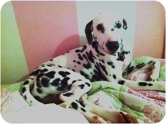 Dalmatian Puppy for adoption in Elliston, Virginia - Deker