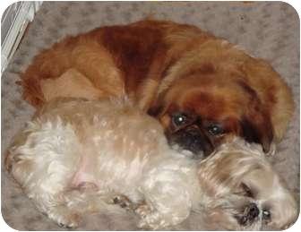 Pekingese/Shih Tzu Mix Dog for adoption in Chapel Hill, North Carolina - Bosco & Elmo-NC
