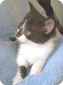 Domestic Shorthair Kitten for adoption in Miami, Florida - Kate